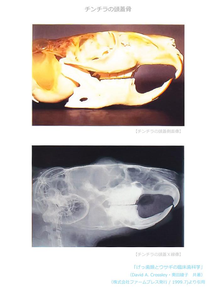 チンチラの頭蓋骨 「げっ歯類とウサギの臨床歯科学」 (David A. Crossley・奥田綾子 共著 / 株式会社ファームプレス発行 / 1999.7)より引用