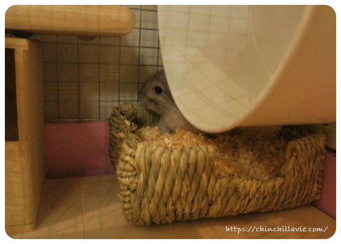 チンチラのティモのケージ1Fに用意したおトイレ