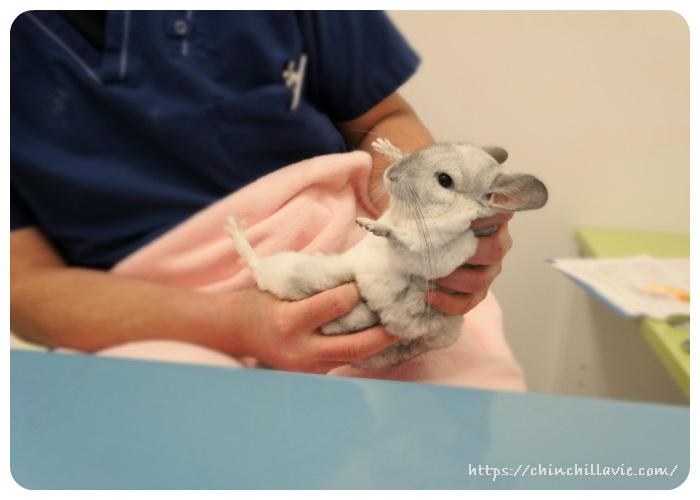 うさぎと鳥・小動物の専門病院バニーグラスさんで診察を受けるチンチラのティモ