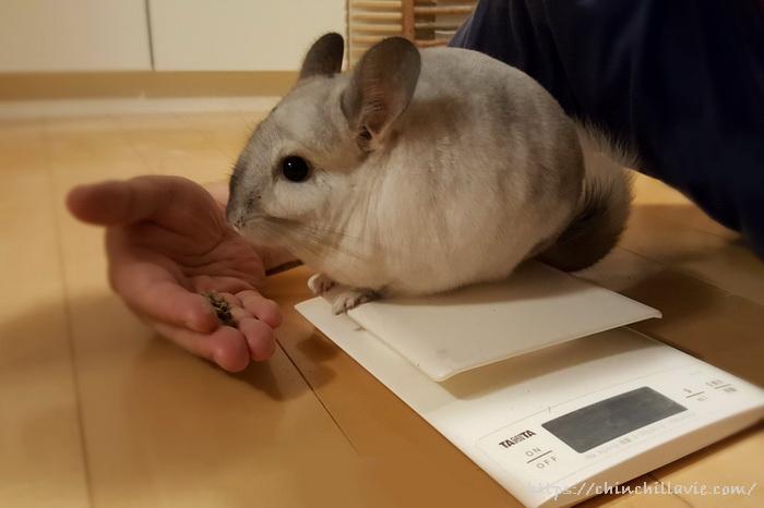 チンチラのティモの体重測定