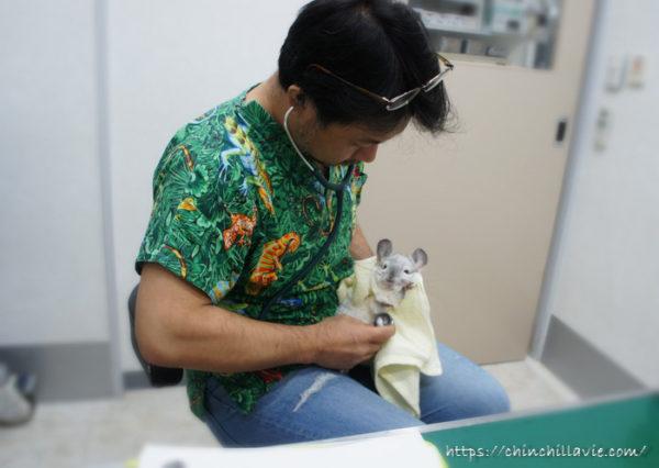 霍野晋吉先生の診察を受けるチンチラのティモ