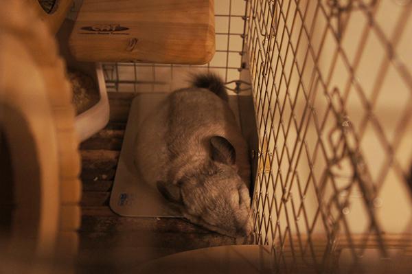 2015年夏のチンチラ ティモの様子 ハイペットのL型固定式ひんやりマットの上にお腹をぺったりくっつけて寝ているところ