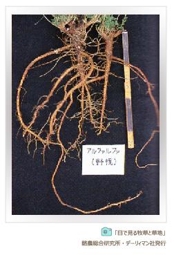マメ科牧草の代表格アルファルファの根 深い根張り