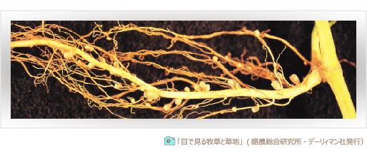 マメ科牧草の根粒菌 共生関係