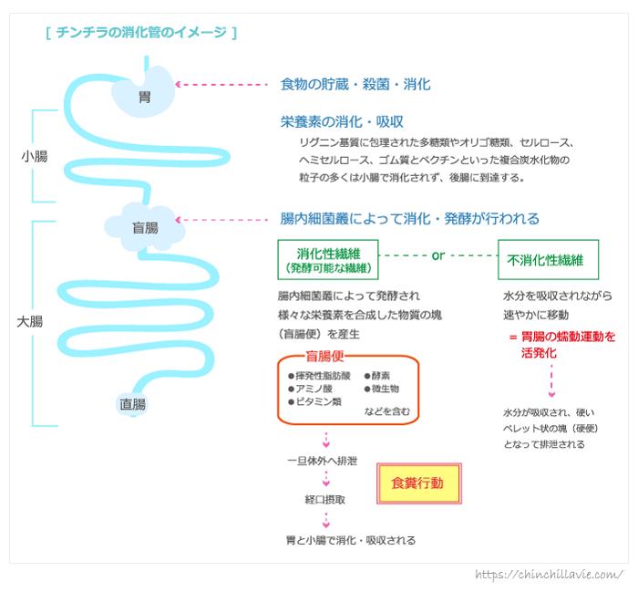 チンチラの消化管と消化のしくみのイメージ