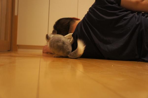 チンチラのティモのへやんぽの様子 横たわる夫に背中をむけられて背後からいたずらに入る様子