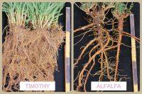 イネ科牧草とマメ科牧草の根っこの違いの写真 イネ科牧草は豊富な根をもち、マメ科牧草は深くしっかりとした根梁りで根粒菌をつけています