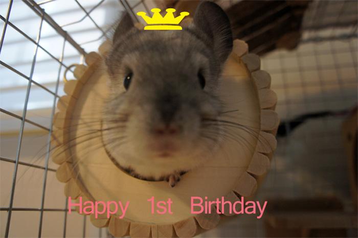 チンチラのティモ 1歳の誕生日 初めてのお祝い