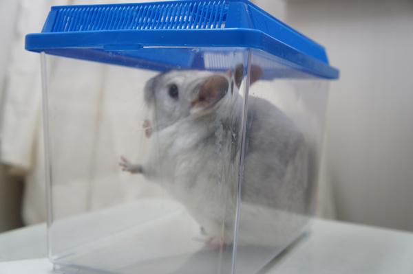 チンチラのティモ 豊島区駒込のみわエキゾチック動物病院で初めての健康診断 カゴに入れられて体重測定中