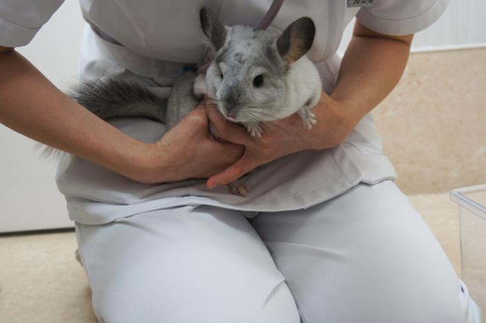 チンチラのティモ 豊島区駒込のみわエキゾチック動物病院で健康診断を受けました