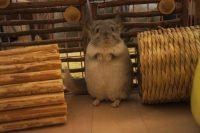 チンチラのティモ お迎えしてまもなくの写真 チンチラ飼育 桟の隙間に挟まる危険があるのでへやんぽコーナーにも注意が必要です。