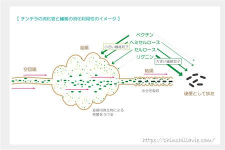 チンチラの消化管と繊維の消化利用性のイメージ