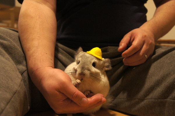 ペレットを食べている隙にミニチュア帽子をのせられるチンチラのティモ そのまま食べ続ける