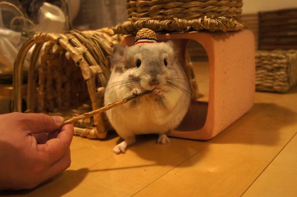 MORUSUPER-7M お帽子作家めめさんのミニチュア麦わら帽子をかぶってお気に入りのりんごバーをぱくりとするチンチラのティモの姿