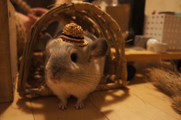 チンチラのティモのミニチュアお帽子コレクション MORUSUPER-7M モルモット雑貨作家のめめさんの麦わら帽子がよく似あう