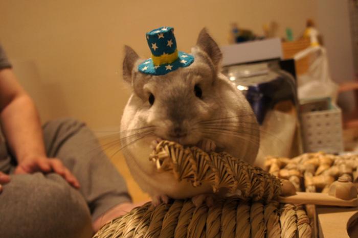 チンチラのティモ めめさんのお帽子をかぶってオシャレに挑戦