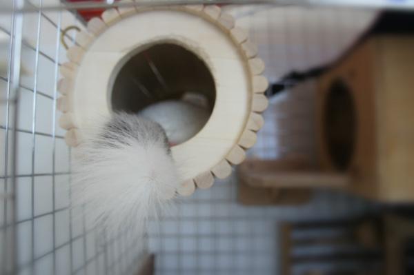 チンチラのティモのケージレイアウト お迎え前に準備したものリスト 巣箱・ハウス chinchilla
