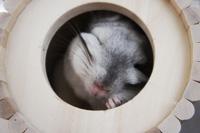 チンチラのティモ チンチラにとって理想的な巣箱・ハウスを選ぶポイント