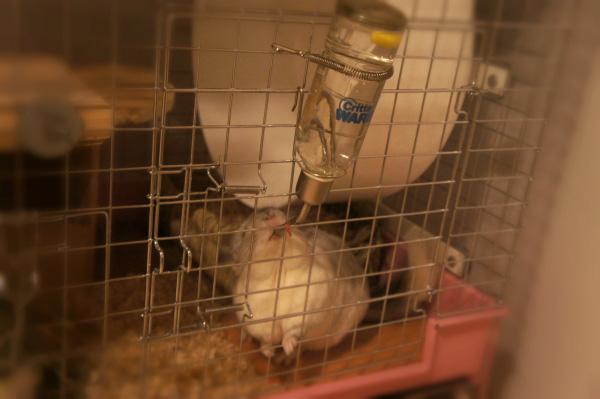 チンチラのティモのケージレイアウト お迎えする前に準備するものリスト 給水ボトル chinchilla