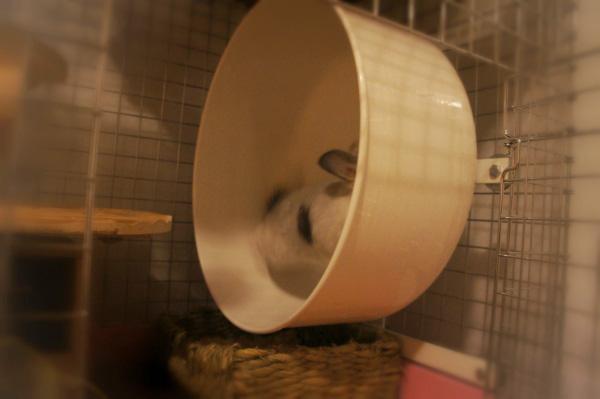 チンチラのティモのケージレイアウト お迎えする前に準備したものリスト ホイール回し車 chin world leo braun exercise wheel chinchilla