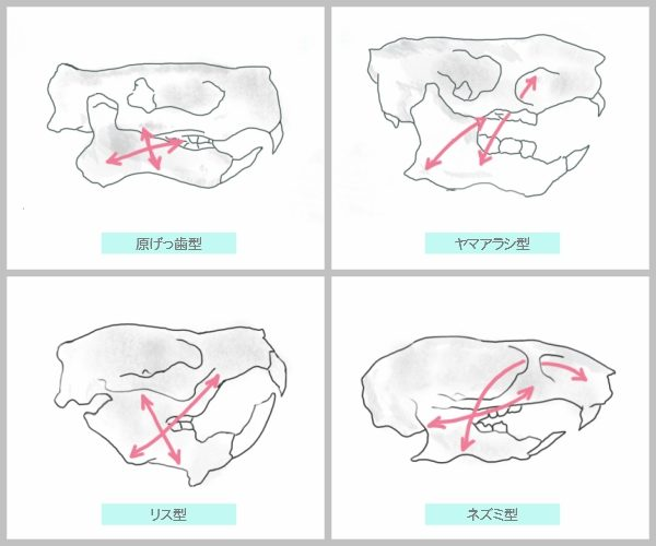 齧歯目(げっ歯類、ネズミ目)の頭蓋骨のイラスト