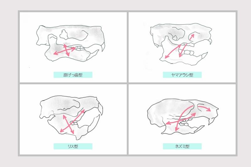 齧歯目の原げっ歯型の頭蓋骨と、現代のリス亜目、ヤマアラシ亜目、ネズミ亜目の頭蓋骨のイラスト