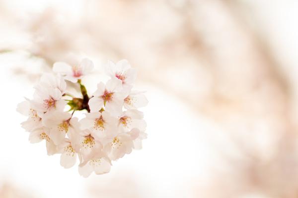 春の訪れ 桜のイメージ