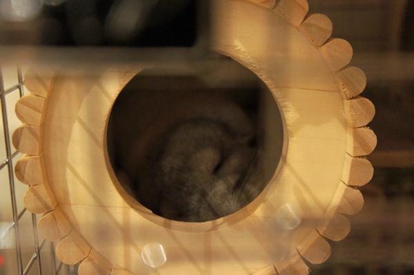 チンチラのティモ お迎えした翌朝 SBSコーポレーションの円筒巣箱で寝ている様子 チンチラの飼育方法