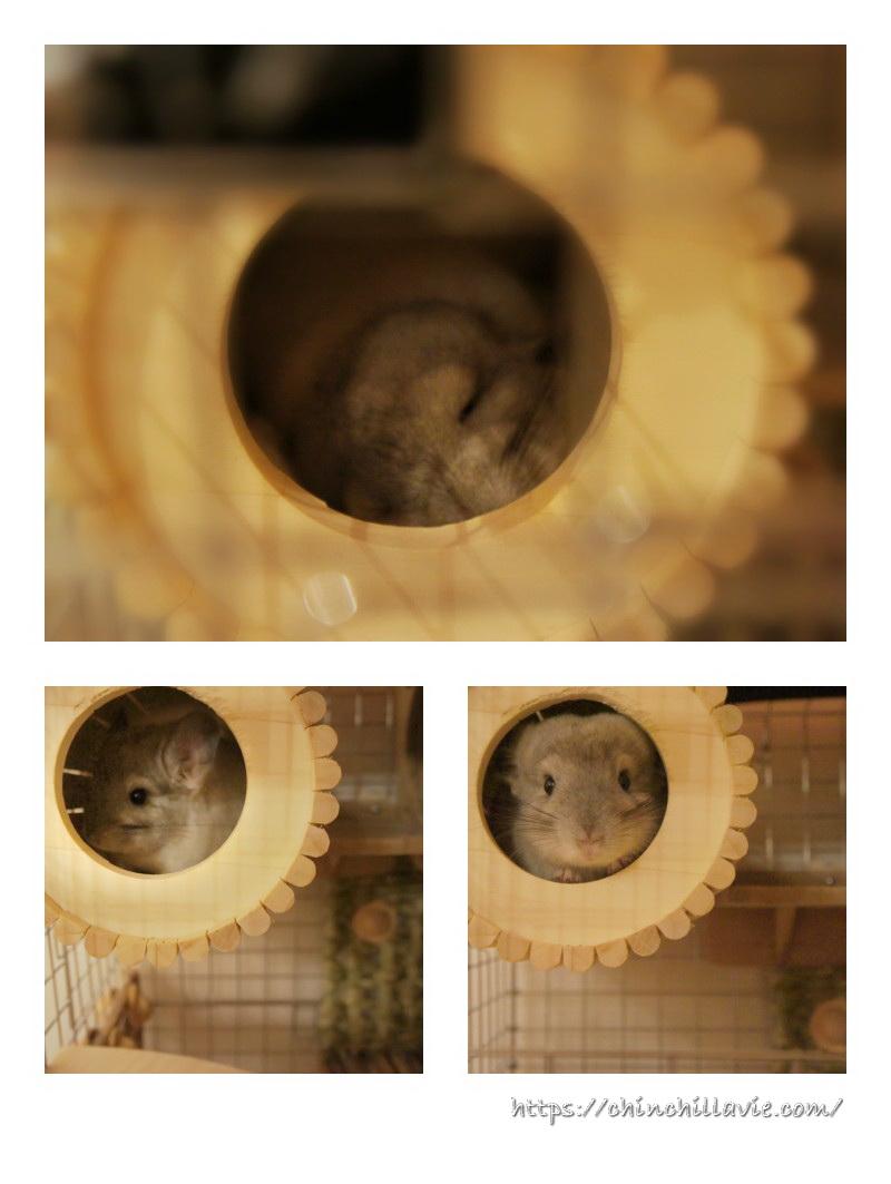 ChinchillaVie | お迎えしたばかりのティモが最も気に入ってくれたSBSコーポレーションの円筒巣箱