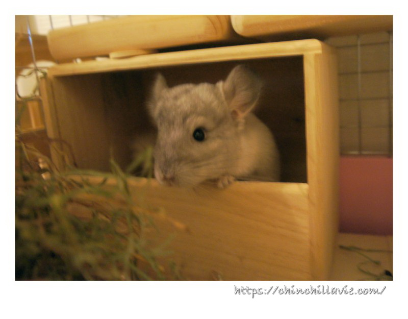 ChinchillaVie | チンチラのティモをお迎えするときにケージに用意した砂浴びボックス