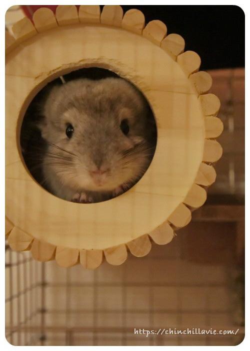 お迎え翌日のチンチラのティモ 全身をすっぽり隠せるチンチラハウスさんの円筒巣箱がお気に入り