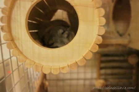 お迎え翌日、安心して眠れる巣箱としてチンチラのティモが選んだSBSコーポレーション円筒巣箱の中で。