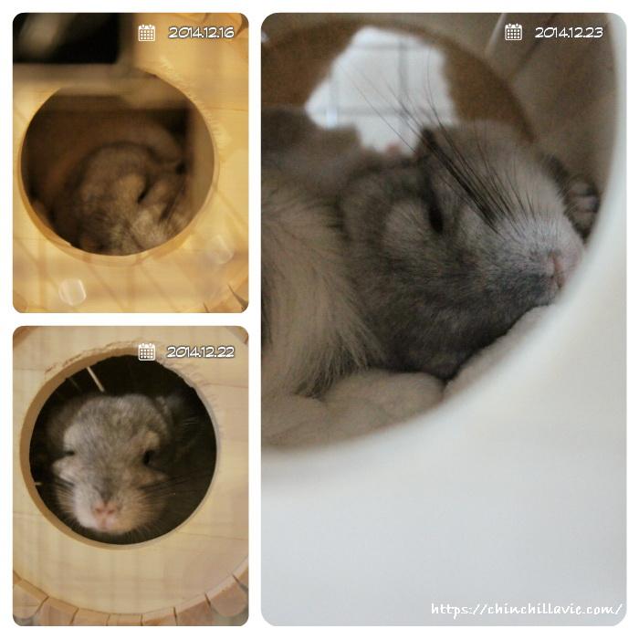 お気に入りなSBSコーポレーションさんの円筒巣箱でぐーすか熟睡なチンチラのティモ