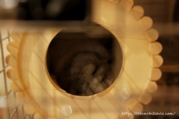 お迎えして3日後。円筒巣箱の中で安心した表情で寝ているチンチラ「ティモ」の姿