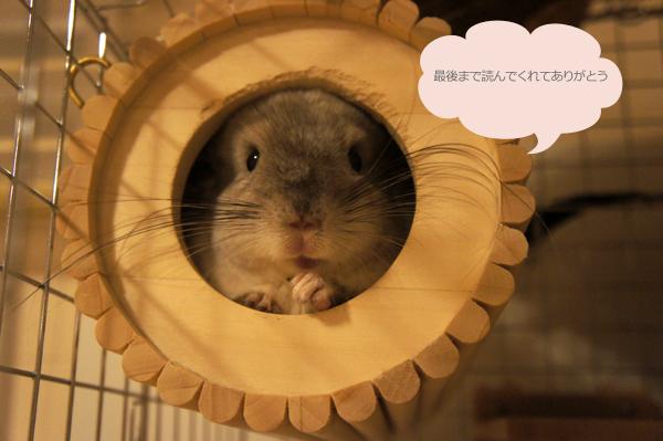 チンチラのティモ SBSコーポレーションの円筒巣箱から顔を覗かせている様子