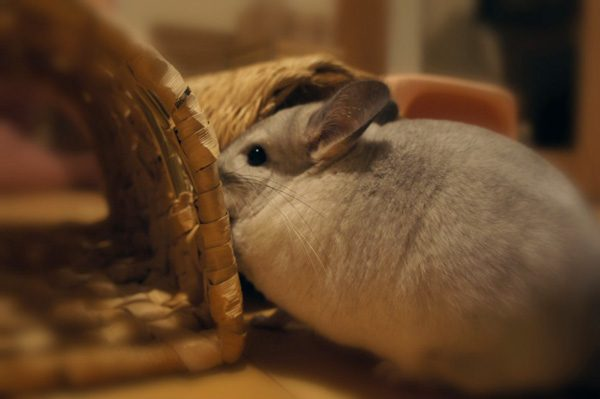 チンチラのティモ カワイ わらっこ倶楽部 バナナの南国トンネル 2ヶ月目 やや飽きてきた様子