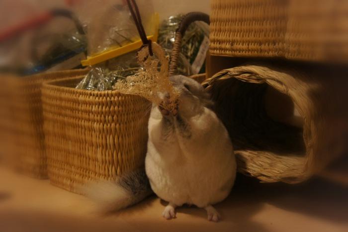 チンチラのティモの部屋んぽ ヘチマを使って手作りおもちゃ