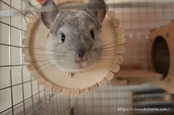 名前を呼ぶと巣箱からぴょっこり顔を出すようになったチンチラのティモ