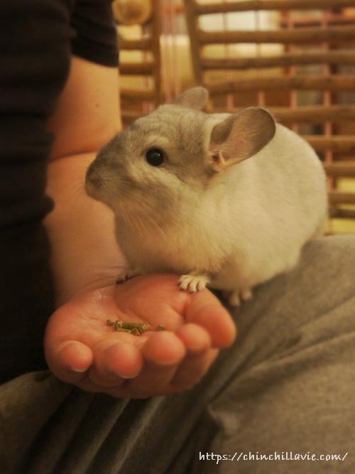 いつも手の平を食器代わりにしてペレットを食べているチンチラのティモ