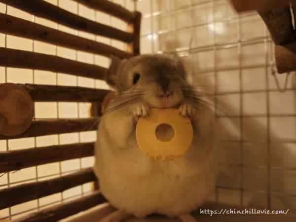「KAWAI コインワッシャー」をおもちゃに遊ぶチンチラのティモ