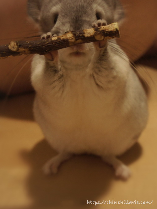 「KAWAI りんごバー」を両手に持つチンチラのティモ