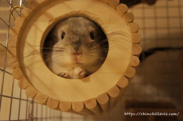 SBSコーポレーション 円筒巣箱がお気に入りなチンチラのティモ