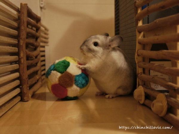 チンチラのティモにボールのおもちゃを買ってみたけれど、起毛された繊維を齧って引っ張るようになってしまったため使用を中止しました