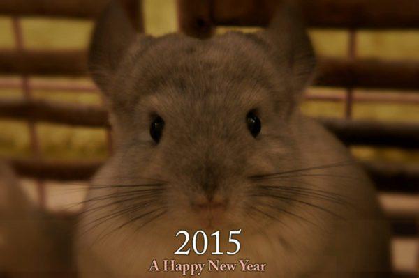 チンチラのティモの飼育記録 初めて迎えるお正月 おすましティモちゃん
