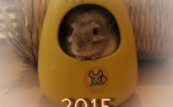 チンチラのティモと迎えるお正月 2015