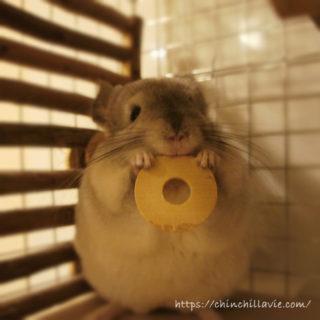 「KAWAI コインワッシャー」をケージに持ち帰って遊ぶチンチラのティモの様子