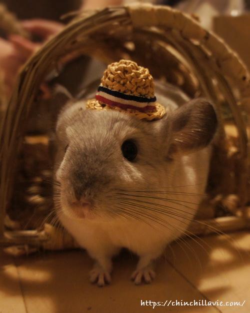 めめさんのお帽子を被るチンチラのティモ