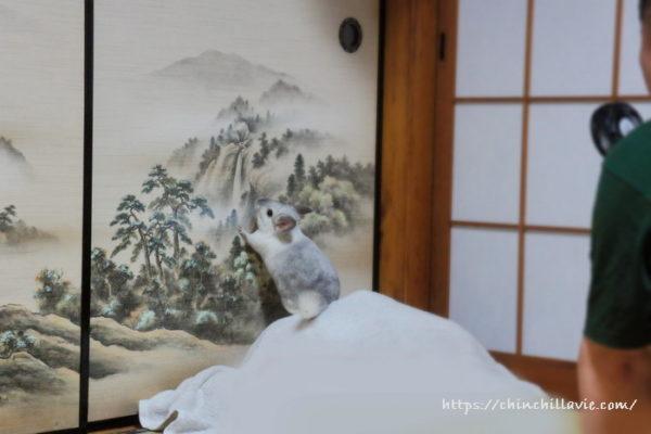 チンチラのティモは襖の水墨画に描かれた山に登りたいみたいです