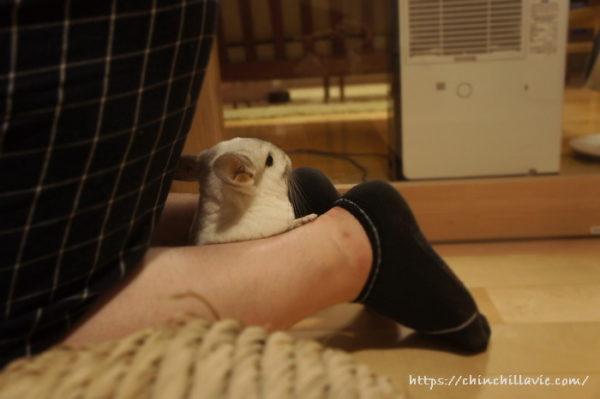 四つん這いの姿勢をとると足の間に入り込んでくるチンチラのティモ