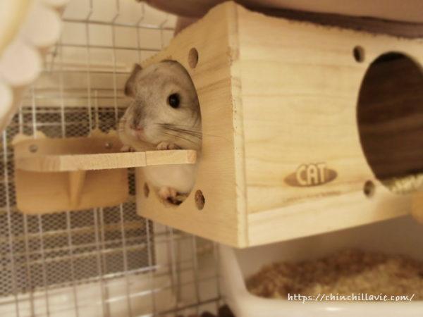 巣箱に出入りするステージをちょっと高めに設置したことでテーブル代わりにも愛用しているチンチラのティモ
